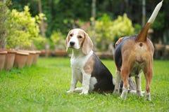 Ισχυρό αρσενικό ασημένιο τρι σκυλί λαγωνικών χρώματος Στοκ Εικόνες