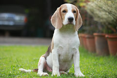 Ισχυρό αρσενικό ασημένιο τρι σκυλί λαγωνικών χρώματος Στοκ Φωτογραφία