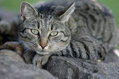 ισχυρό αρσενικό (ζώο) γατών Στοκ Εικόνες