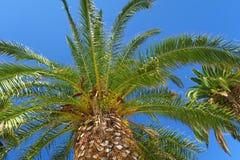 Ισχυρό ευρύ palmtree με το μπλε ουρανό στο υπόβαθρο στοκ εικόνες