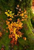 Ισχυρό παλαιό όμορφο δέντρο φθινοπώρου Στοκ Εικόνες