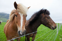 Ισλανδικά άλογα κάστανων Στοκ φωτογραφία με δικαίωμα ελεύθερης χρήσης