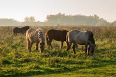 Ισλανδικά άλογα που βόσκουν στο αργά το απόγευμα φως του ήλιου Στοκ Εικόνες