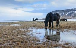Ισλανδικά άλογα σε μια επαρχία Στοκ Εικόνα