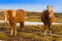 Ισλανδικά άλογα στην ξηρά χλόη στοκ εικόνες
