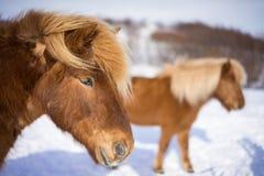 Ισλανδικά άλογα στο χειμώνα Στοκ εικόνα με δικαίωμα ελεύθερης χρήσης