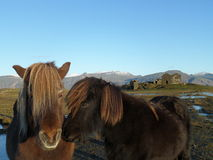 Ισλανδικά άλογα φιλήματος Στοκ φωτογραφία με δικαίωμα ελεύθερης χρήσης