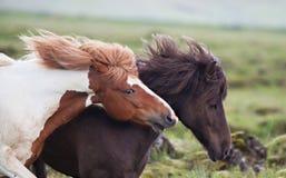 Ισλανδικά άλογα Στοκ Φωτογραφία