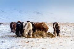 Ισλανδικά άλογα Στοκ εικόνα με δικαίωμα ελεύθερης χρήσης