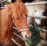 Ισλανδικά άλογα Στοκ Φωτογραφίες