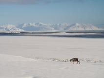 Ισλανδικά ελάφια Στοκ φωτογραφία με δικαίωμα ελεύθερης χρήσης