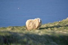 Ισλανδικά πρόβατα στους απότομους βράχους Vestmannaeyja Στοκ Εικόνες