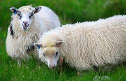 Ισλανδικά πρόβατα Στοκ Φωτογραφίες
