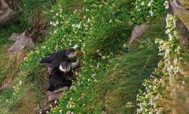 Ισλανδικά puffins ζεύγους μπροστά από τη φωλιά τους Στοκ εικόνες με δικαίωμα ελεύθερης χρήσης