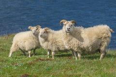 Ισλανδικά sheeps στοκ φωτογραφία με δικαίωμα ελεύθερης χρήσης