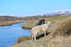 Ισλανδικοί πρόβατα και κριός Στοκ εικόνα με δικαίωμα ελεύθερης χρήσης