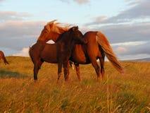 Ισλανδικό άλογο - φοράδα και foal Στοκ Φωτογραφίες