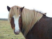 Ισλανδικό άλογο Στοκ εικόνα με δικαίωμα ελεύθερης χρήσης