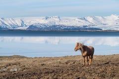 Ισλανδικό άλογο Στοκ Φωτογραφίες