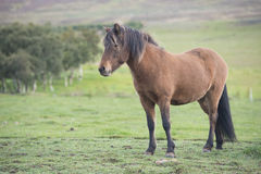 Ισλανδικό άλογο Στοκ Εικόνα