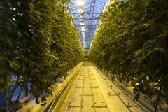 Ισλανδικό αγρόκτημα θερμοκηπίων ντοματών Στοκ Εικόνα