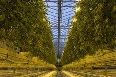 Ισλανδικό αγρόκτημα θερμοκηπίων ντοματών Στοκ φωτογραφία με δικαίωμα ελεύθερης χρήσης