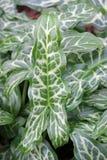 Ιταλικά φύλλα arum Στοκ Φωτογραφία