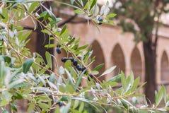 Ιταλικές φρέσκες ώριμες ελιές που αυξάνονται στο δέντρο πέρα από το mediterrinean υπόβαθρο αρχιτεκτονικής στοκ εικόνες με δικαίωμα ελεύθερης χρήσης