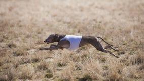 Ιταλικό Greyhound σκυλιών ακολουθεί το δόλωμα στον τομέα στοκ εικόνες