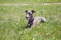 Ιταλικό greyhound Στοκ φωτογραφίες με δικαίωμα ελεύθερης χρήσης