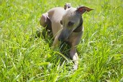 Ιταλικό greyhound Στοκ εικόνα με δικαίωμα ελεύθερης χρήσης