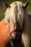 Ιταλικά εσωτερικά άλογα Στοκ Φωτογραφίες
