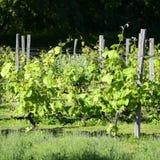Ιταλικοί αμπελώνες - κρασί Valpolicella Στοκ Φωτογραφίες