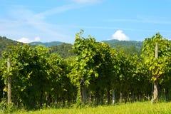 Ιταλικοί αμπελώνες - κρασί Valpolicella Στοκ εικόνες με δικαίωμα ελεύθερης χρήσης