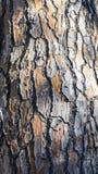Ιταλικός πέτρινος φλοιός πεύκων Στοκ φωτογραφία με δικαίωμα ελεύθερης χρήσης