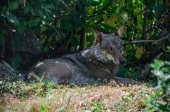 Ιταλικός λύκος (italicus Λύκου canis) Στοκ φωτογραφία με δικαίωμα ελεύθερης χρήσης