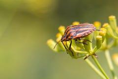 Ιταλικό ζωύφιο ριγωτός-ζωύφιου ή τροβαδούρων (lineatum Graphosoma) Στοκ Φωτογραφίες