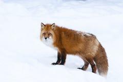 ιταλικό κόκκινο χιόνι αλεπούδων ορών ζωικό στις άγρια περιοχές Στοκ εικόνα με δικαίωμα ελεύθερης χρήσης