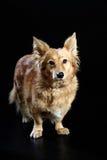 Ιταλικό μιγία σκυλί 2417 Στοκ φωτογραφίες με δικαίωμα ελεύθερης χρήσης