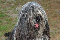 Ιταλικό τσοπανόσκυλο σκυλιών στοκ φωτογραφία με δικαίωμα ελεύθερης χρήσης