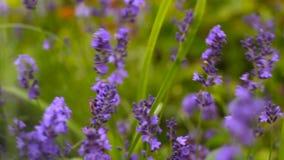Ιταλικό lavender στο κρεβάτι λουλουδιών στον κήπο φιλμ μικρού μήκους