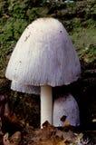 Ιταλικό micaceus coprinus μανιταριών Στοκ φωτογραφία με δικαίωμα ελεύθερης χρήσης