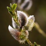 Ιτιά γατών - άνοιξη - Salix Στοκ Φωτογραφία