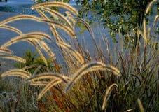 ιτιά γατών φυτών Στοκ Φωτογραφία