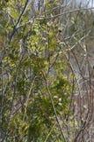 Ιτιά γατών (Salix αποχρωματίζει) Στοκ Φωτογραφία