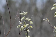 Ιτιά γατών (Salix αποχρωματίζει) Στοκ φωτογραφίες με δικαίωμα ελεύθερης χρήσης