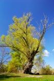 ιτιά δέντρων άνοιξη Στοκ φωτογραφίες με δικαίωμα ελεύθερης χρήσης