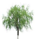 ιτιά δέντρων στοκ εικόνες