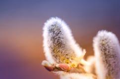 Ιτιά με τους ανθίζοντας γκρίζους χνουδωτούς οφθαλμούς πρώιμη άνοιξη λουλουδιών Στοκ εικόνα με δικαίωμα ελεύθερης χρήσης