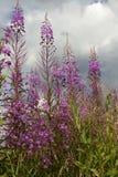 Ιτιά-χορτάρι λουλουδιών Στοκ Φωτογραφία